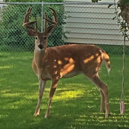 Deer in yard standing